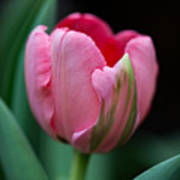 The Peculiar Pink Tulip Poster