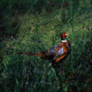 The Pheasant In The Autumn Colors Poster