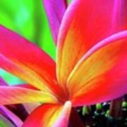The Plumeria Flower Poster