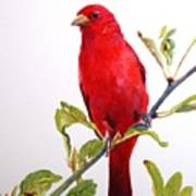 The Scarlett Tanager  Poster