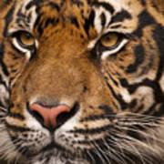 The Sumatran Tiger Cat Poster