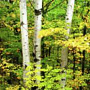 The Three Birch Poster