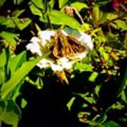 The Tiniest Skipper Butterfly In The Garden Poster