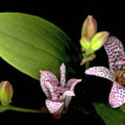 The Toad Lily Poster