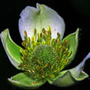Thimbleweed Anemone Virginiana Poster by Ron Kruger