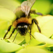 Thirsty Bumble Bee. Poster