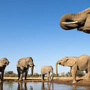 Thirsty Elephants Poster