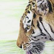 Thirsty Tiger Poster