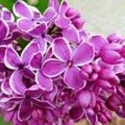 This Lilac Has Flowers With A White Edging. 4  Poster