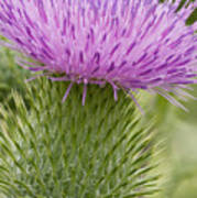 Thistle Close-up Poster