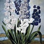 Thornton: Hyacinths Poster