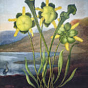 Thornton: Pitcher Plant Poster