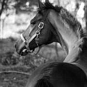 Thoroughbred - Black And White Poster