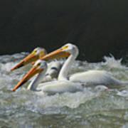 Three American Pelicans Poster
