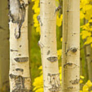 Three Autumn Aspens Poster by James BO  Insogna