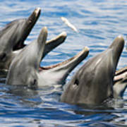 Three Bottlenose Dolphins Poster