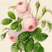 Three Centifolia Roses With Buds Poster