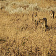 Three Cheetahs Poster