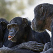 Three Chimpanzees Socializing  Poster