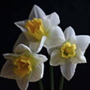 Three Daffodil Poster