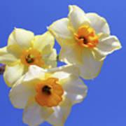 Three Daffodils Poster