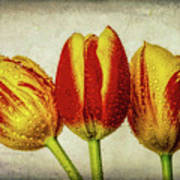 Three Dew Covered Tulips Poster