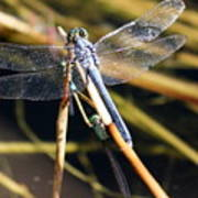 Three Dragonflies On One Reed Poster