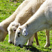 Three Ewes Poster