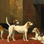 Three Fox Hounds In A Paved Kennel Yard Poster