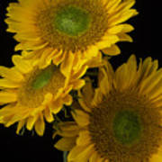 Three Golden Sunflowers Poster