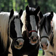 Three Gypsy Vanner Mares Poster