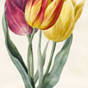 Three Lily Tulips  Poster