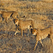 Three Cheetahs Poster