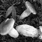 Three Mushrooms Poster