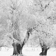 Three Snow Frosted Trees In Black And White Poster