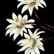 Three Spring Daisies Poster