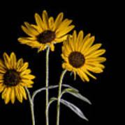 Three Sunflowers Light Painted On Black Poster