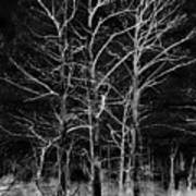 Three Trees In Black And White Poster