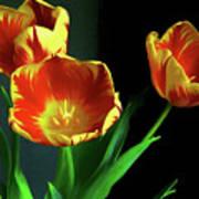 Three Tulips Photo Art Poster