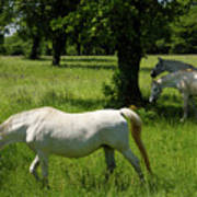 Three White Lipizzan Horses Grazing In A Field At The Lipica Stu Poster