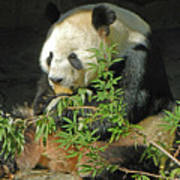 Tian Tian Hanging Out In Panda Man Cave Poster