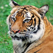Tiger Face Poster