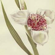 Tiger Flower   Tigridia Pavonia Alba Poster