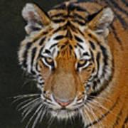Tiger Hunting Poster