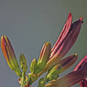 Tiger Lilly Buds 2 7172017  Poster