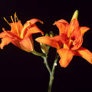 Tiger Lily Flower Opening Part Poster
