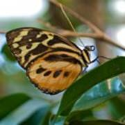 Tiger Longwing Butterfly I Poster
