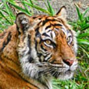 Tiger Portrait Poster by Jennie Marie Schell
