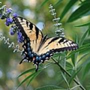 Tiger Swallowtail 1 Poster