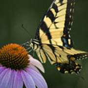 Tiger Swallowtail 1 Poster